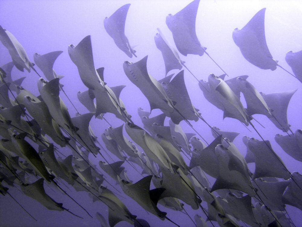 Schooling Rays can be seen regularly whilst scuba diving in Cabo, San Jose or Cabo Pulmo, one of the greatest things to do in cabo san lucas