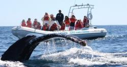 Whale Watching from high speed Zodiac in Cabo San Lucas