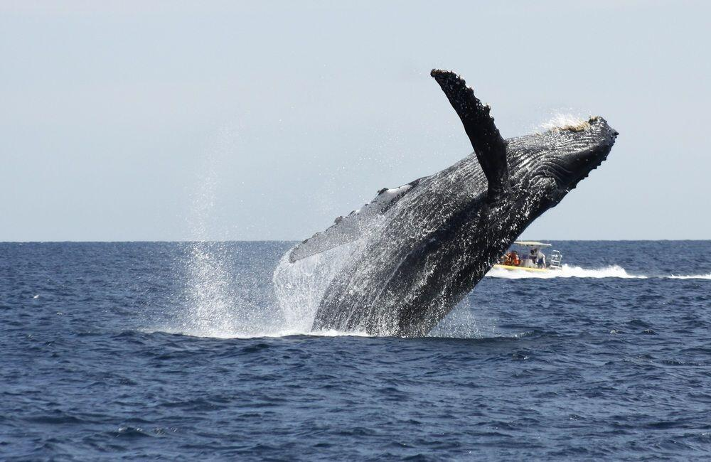 breaching whale spotted in whale watching san jose del cabo one of the things to do in cabo san lucas