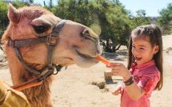 camel encounter feeding a camels in cabo san lucas at wild canyon adrenaline rush