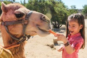 feed a camel on the best cabo camel tour available at wild canyon cabo adventures